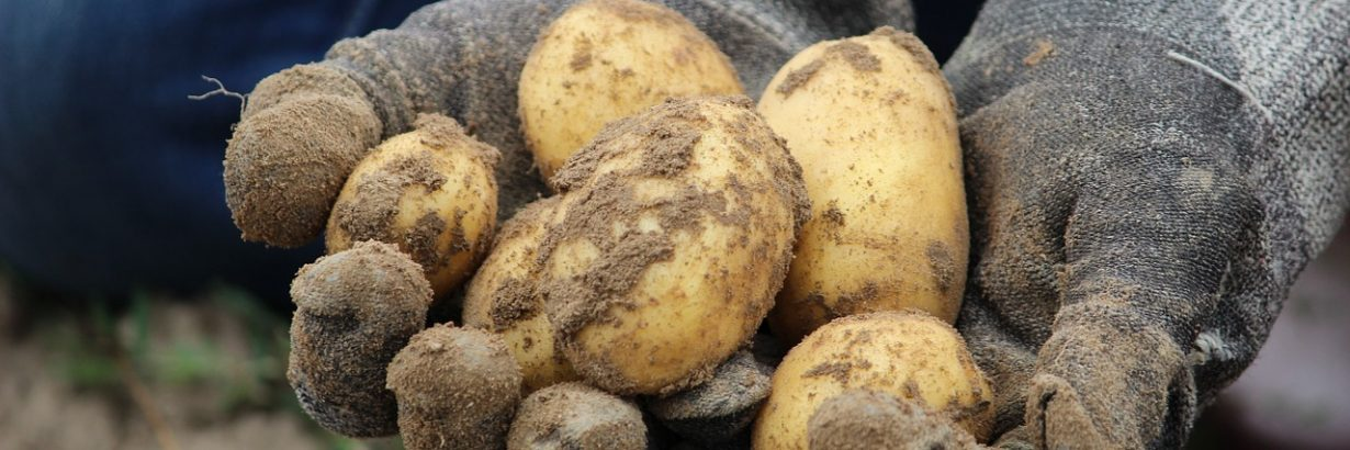 Bio Potato Field Earth Eat Nature  - Rupprich / Pixabay