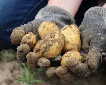 Bio Potato Field Earth Eat Nature  - Rupprich / Pixabay