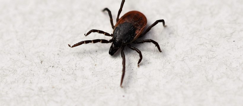 Ixodes Ricinus Tick Shield Tick  - Nature-Pix / Pixabay
